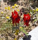 Pois de désert de Sturt rouge brillant Images stock