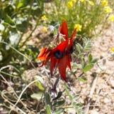 Pois de désert de Sturt rouge brillant Image libre de droits