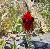 Pois de désert de Sturt rouge brillant Image stock