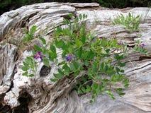Pois de mer (Lathyrus japonicus) s'élevant sur un bois à la plage Photographie stock libre de droits