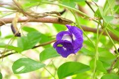 Pois de papillon photos stock
