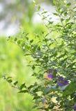 Pois de papillon Image libre de droits
