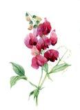 Pois doux Illustration d'aquarelle Image libre de droits
