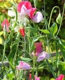 Pois doux (odoratus de Lathyrus) Photographie stock libre de droits