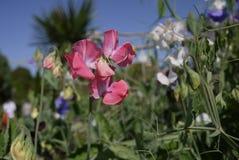 Pois doux rose dans un jardin anglais de pays Photos libres de droits