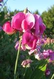 Pois doux roses inondés de soleil dans le pré Photo stock