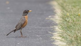 Poised American Robin Royalty Free Stock Images