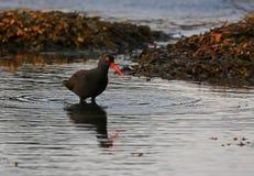 Poised Black Oystercatcher Stock Photo