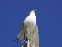 Poised gull on wood piling Stock Photos