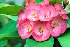PoiSian-Blumen Lizenzfreie Stockbilder