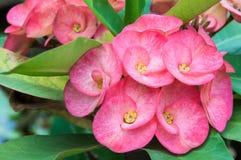 PoiSian-Blumen Lizenzfreies Stockfoto