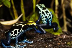 Poision dart frog Dendrobates tinctorius. Dendrobates tinctorius in zoo exhibit, also called a dyeing Poison dart frog Stock Photography