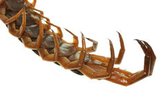 Poison animal centipede Royalty Free Stock Photos