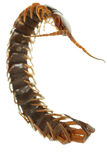 Poison animal centipede Stock Image