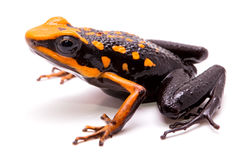Poison arrow or dart frog Stock Photos