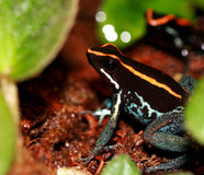 Poison arrow frog Royalty Free Stock Photos