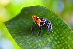 Poison arrow frog royalty free stock image