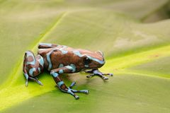 Poison arrow frog, Dendrobates auratus. From the tropical rain forest of Panama stock photos