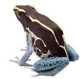 Poison arrow frog isolated Stock Photo