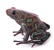 Poison arrow frog Panama Royalty Free Stock Photos