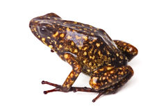 Poison arrow frog Peru Amazon rain forest Stock Images
