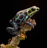 Poison arrow frog Peru rain forest stock image