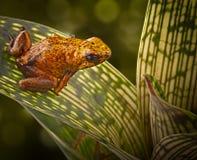 Poison arrow frog Peruvian Amazon Stock Image