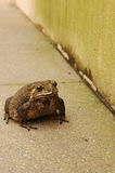 Poison Cane Toad Royalty Free Stock Photography