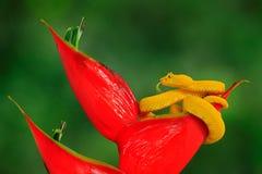 Poison danger viper snake from Costa Rica. Yellow Eyelash Palm Pitviper, Bothriechis schlegeli, on red wild flower. Wildlife scene. From tropic forest. Bloom stock photos