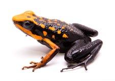 Poison dart or arrow frog Ameerega silverstonei. Poison dart or arrow frog, Ameerega silverstonei. Orange poisonous animal from the Amazon rain forest of Peru royalty free stock photography