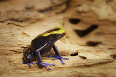 Poison dart or arrow frog, Dendrobates tinctorius Lorenzo Stock Photo