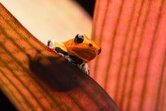 Poison dart or arrow frog, Ranitomeya fantastica Caynarichi morph stock photo