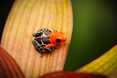 Poison dart or arrow frog, Ranitomeya fantastica stock images