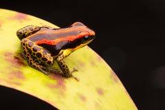 Poison dart or arrow frog Ranitomeya uakarii stock images