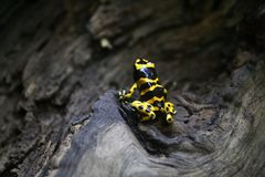 Poison Dart Frog. Yellow banded poison dart frog on a tree Stock Photography