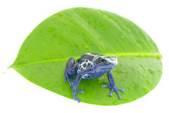 Poison dart frog Stock Photography