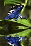 Poison dart frog. Dendrobates tinctorius with reflection Royalty Free Stock Images