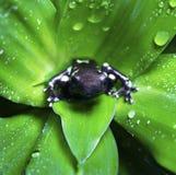 Poison Dart Frog Royalty Free Stock Photo