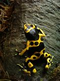 Poison Dart Frog 2138 Stock Photography