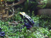 Poison Dart Frog. Is in order:Anura and Animals such as frogs, toads all. Family : 1 Dendrobatidae 2 Epipedobates 3 Minyobates 4 Phillobates Stock Image
