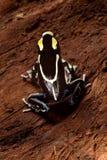 Poison dart frog. Frog with black and yellow poisonous animal poison dart frog amazon rainforest Stock Photo