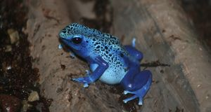 Poison dart frog Royalty Free Stock Image