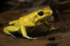 Poison dart frog Royalty Free Stock Photo