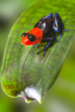 Poison dart frog. Peru Amazon rain forest animal tropical exotic amphibian with bright red warning colors sitting on leaf in jungle Dendrobates Ranitomeya Stock Photo
