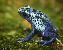 Poison Dart Frog. A tiny poisonous frog Stock Image