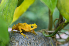 Poison Dart Frog. Yellow and Black Poison Dart Frog Royalty Free Stock Photo