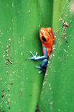 Poison Dart Frog. In Bromeliad royalty free stock photo
