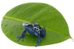 Free Poison Dart Frog Royalty Free Stock Image - 8372336