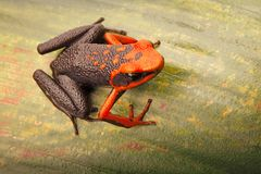 Poison dart frog, Ameerega silverstonei. A tropical rain forest animal from the Amazon jungle in Peru stock image