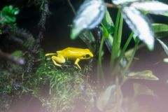 Poison dart frog or Poison Arrow Frogs is the common name of a g stock photo